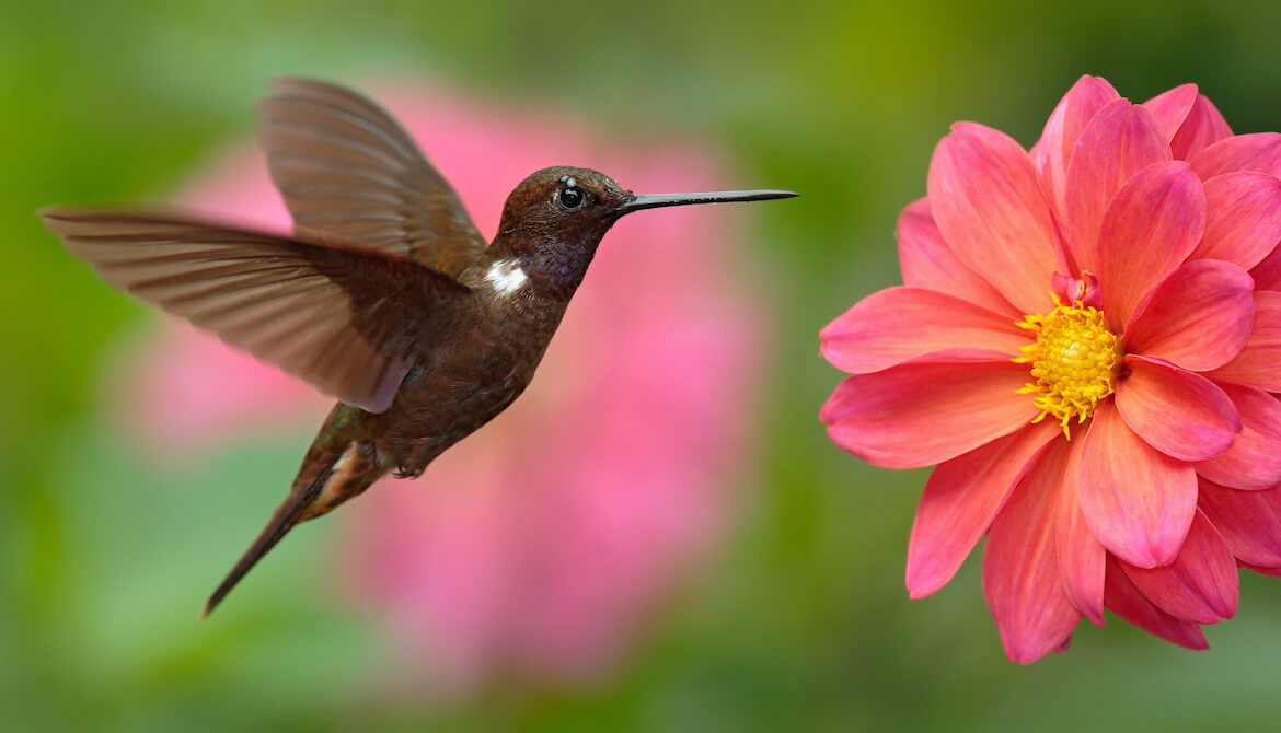 Hummingbird flying next to beautiful pink flower, pink bloom in background