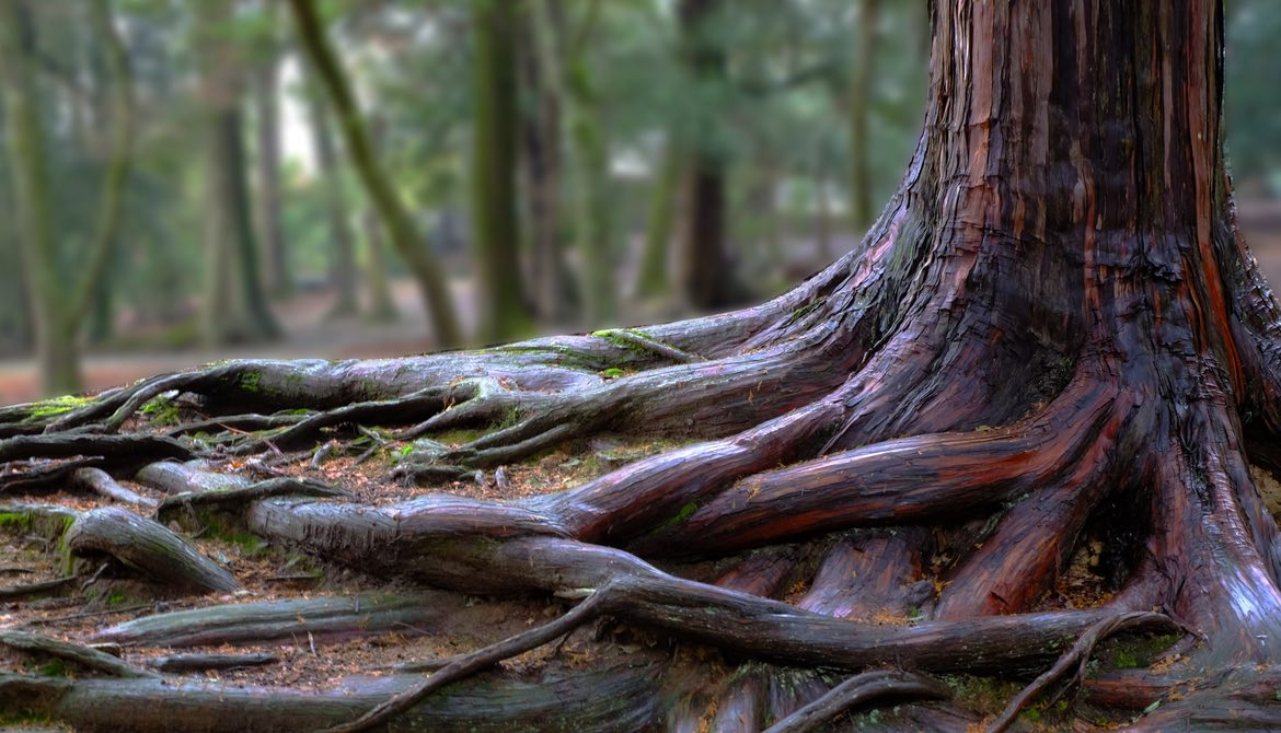 tree roots in a forest