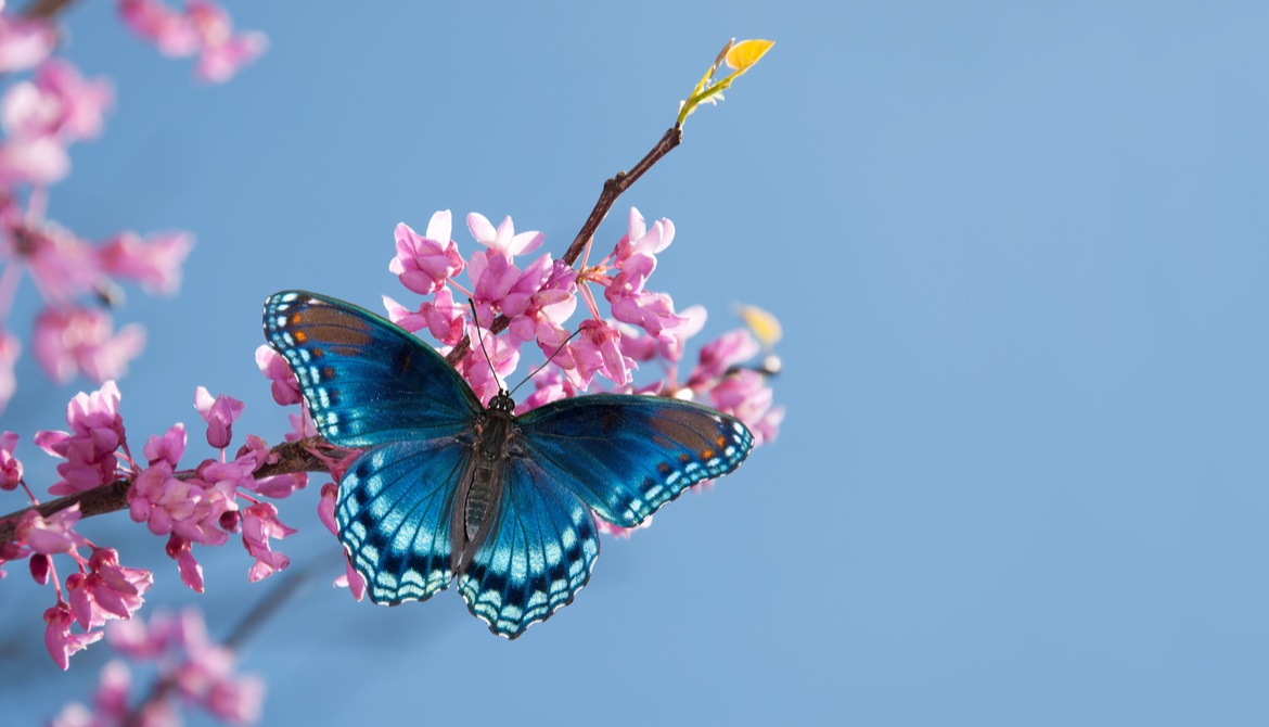 blue butterfly visiting flowering tree branch