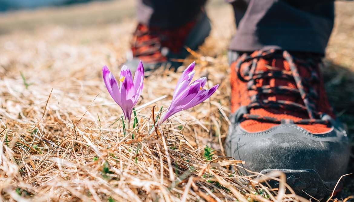 hiking boots near crocus flowers