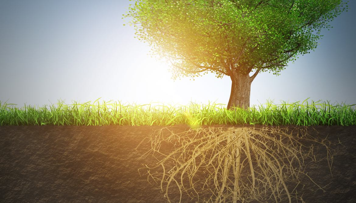 healthy green tree with strong underground root system against blue sky with sun setting