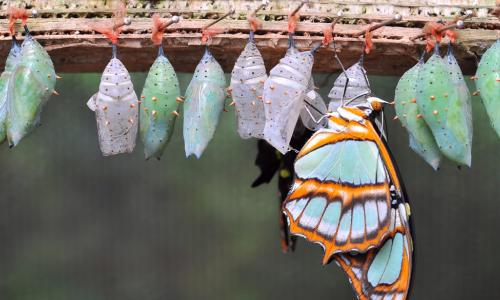 A colorful butterfly and several empty chrysalises hanging from a branch