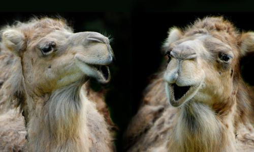 two funny dromedaries or camels having a conversation