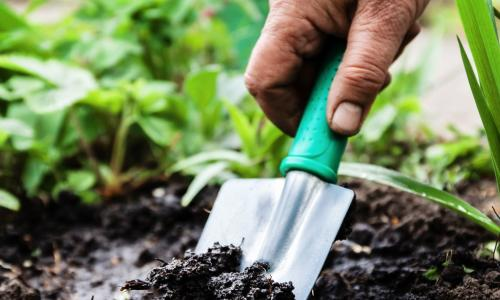 gloved hand mixing fertilizer into garden soil with blue trowel next to young tomato plant
