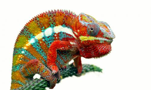 colorful chameleon on a branch
