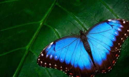 Blue Morpho butterfly sitting on green leaves