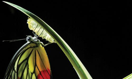 colorful butterfly emerging from chrysalis on a blade of grass