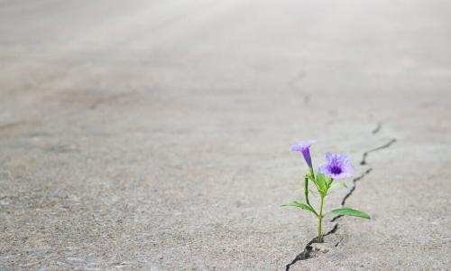 resilient purple flower growing through crack in cement