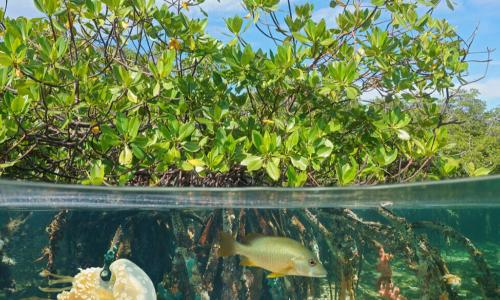 Mangrove above and below water surface, half and half, with fish and a jellyfish underwater, Carribbean sea