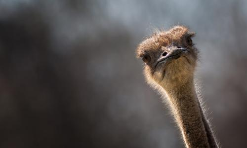 ostrich craning neck and looking alert