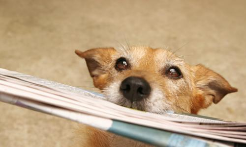 Cute scruffy terrier dog bringing in the newspaper