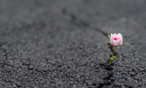 resilient pink rose flower growing out of crack in asphalt